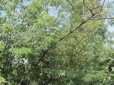 nochi tree